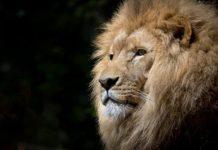 la-fabula-del-leon