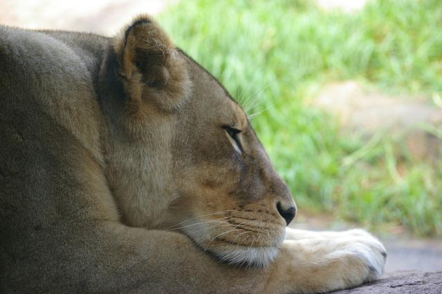 la-fábula-del-león-imagen